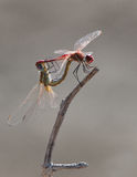 Two dragonflies making sex Stock Photography