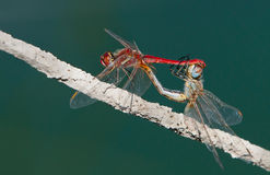 Two dragonflies making sex Royalty Free Stock Images
