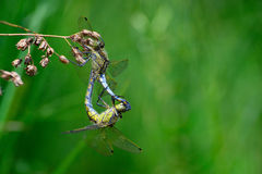 Two dragonflies mating close-up. Two Dragonfly (Libellula depressa) mating close-up Stock Photo