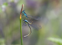 Two Dragonflies mating. On grass Royalty Free Stock Images