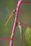 Two dragonflies on pokeweed. Two dragonflies are both hanging on to the same pokeweed stem Stock Images