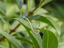 Two Dragonflies reproducing on leaf. Reproducing in the nature on a lakeside in Austria Royalty Free Stock Photo