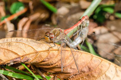 Two Dragonflies Reproduction Royalty Free Stock Photography
