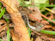 Two Dragonflies Reproduction Stock Photos