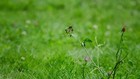 Two dragonflies during reproduction. Two dragonflies during reproduction on a green weed. Insect on of grass. Scene of life Insect family. Slow motion stock footage