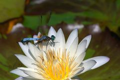 Two Dragonflies resting on a white water lily. A white lotus flower with a two dragonflies perched on it Royalty Free Stock Photography