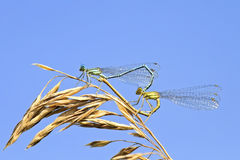 Two dragonflies sit together in the shape of a heart on a  summer meadow Royalty Free Stock Images