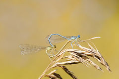 Two dragonflies sit together in the shape of a heart on a  summer meadow Stock Photography
