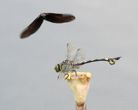 Two dragonflies. Tiger-striped dragonfly under attack from another dark winged dragonfly Royalty Free Stock Images
