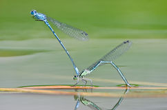 Two dragonfly Stock Images