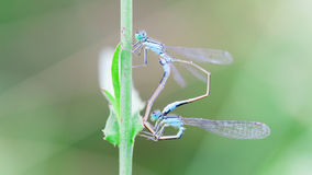 Two dragonfly Stock Photo