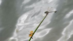 Two dragonfly resting on the twig. Clubtail dragonfly and another smaller dragonfly are resting on the twig over the water flow stock video footage