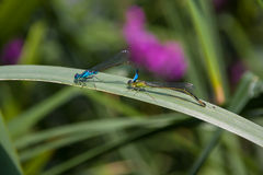 Two Dragonfly sex Stock Images