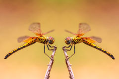 Two Dragonfly on treetops Stock Images