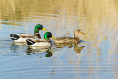 Two Drake and a duck males and female mallards lat. Anas platyrhynchos, birds of the duck family Anatidae detachment of waterf. Owl Anseriformes is floating on Royalty Free Stock Photo
