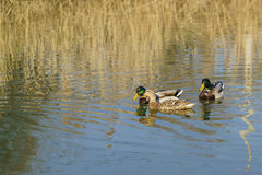 Two Drake and a duck males and female mallards lat. Anas platyrhynchos, birds of the duck family Anatidae detachment of waterf. Owl Anseriformes - in the mating Royalty Free Stock Photo