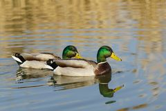 Two Drake - male Mallard duck lat. Anas platyrhynchos in the pond. Well visible tail curl Stock Photo