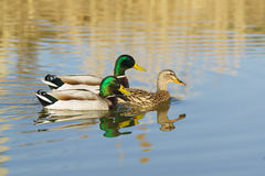 Two Drake male swimming on the lake for a duck female Mallard duck lat. Anas platyrhynchos is a bird of the duck family Ana Stock Photos