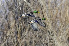 Mallards in flight. Two Drake mallards in full flight. Wonderful colors show the magnificence of these birds as they take to the air in flight Royalty Free Stock Image