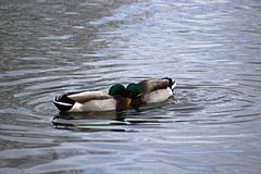 Two drake mallards going head to head on pond in Boise Idaho. Battle for position Royalty Free Stock Image