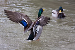 Two drakes of mallard on the water Stock Photos