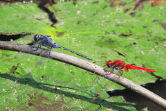 Two drangonflies. Dragonflies shares a twig on pond Stock Photography