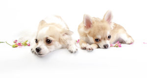 Two dreamy chihuahua dogs Stock Photos