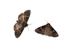 Two drepaniid moths Stock Image