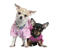 Two dressed Chihuahuas in pink, 8 months old stock images