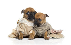 Two dressed Chihuahuas puppies (1 month old). Isolated on white Stock Image