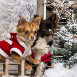 Two dressed-up Chihuahuas on a bridge Royalty Free Stock Photography