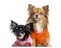 Two dressed up Chihuahuas, isolated Stock Photos