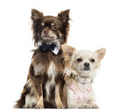 Two dressed up Chihuahuas, isolated Stock Photography