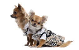Two dressed up Chihuahuas next to each other, isolated Stock Photography