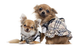 Two dressed up Chihuahuas next to each other, isolated Stock Photos