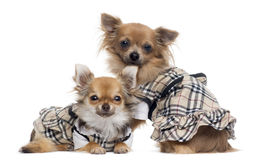 Two dressed up Chihuahuas next to each other, isolated Stock Images