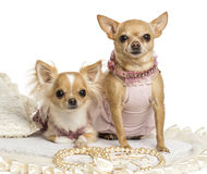 Two dressed-up Chihuahuas sitting on a carpet, isolated Royalty Free Stock Image