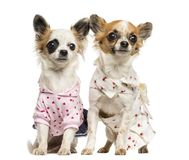 Two dressed-up Chihuahuas sitting, 9 months old. Isolated on white royalty free stock image