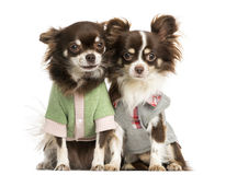 Two dressed-up Chihuahuas sitting next together Royalty Free Stock Photography