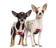 Two dressed up Chihuahuas standing, 1 and 4 years old. Isolated on white royalty free stock image