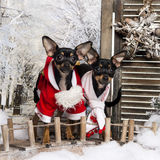 Two dressed-up Crossbreed dogs on a bridge Stock Images