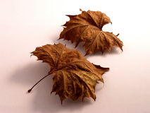 Two Dried Leaves Stock Image