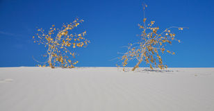 Two dried out plants in the white sands dessert Royalty Free Stock Images