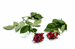 Two dried rose on white background stock photos