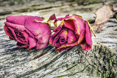 Two dried roses Stock Image