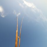 Reaching for the Sky. Two dried stalk reaching for a blue sky with wispy clouds Stock Photo