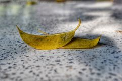 Two dried yellow leaves royalty free stock photography