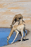 Two drinking giraffes royalty free stock photography