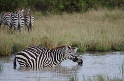 Two drinking zebras. Two Zebras quenching their thirst in a waterhole in the Masai Mara Stock Photography
