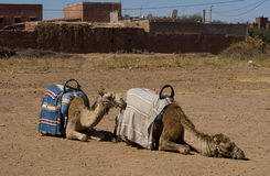 Two dromadery camels Stock Images